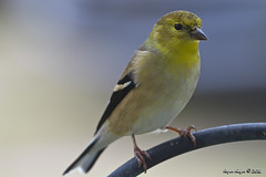 American Goldfinch_4962 (Roger Kiefer) Tags: birds nature wildlife outdoors backyard american goldfinch