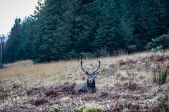 20181228-2018, Glen Coe, Glen Etive, Hirsch, Schottland-021.jpg (serpentes80) Tags: 2018 glencoe hirsch glenetive schottland ballachulish vereinigteskönigreich gb