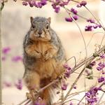 156/365/3808 (November 14, 2018) - Fox Squirrels in Ann Arbor at the University of Michigan - November 14th, 2018 thumbnail