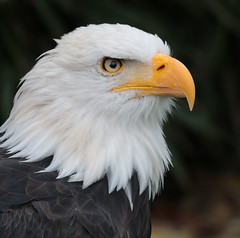 sea eagle Oliemeulen 094A1354 (j.a.kok) Tags: vogel bird oliemeulen eagle arend birdofprey