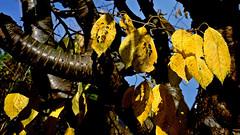 Kirschbaum im Sonnenschein (dl1ydn) Tags: kirschbaum cherry garden garten nature natur konica hexanon 28mmf35 herbst autumn laub leaves