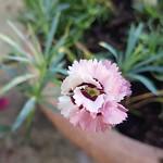 Raspberry Sundae Dianthus, 21st October 2018. thumbnail
