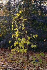 Mulberry Bush (Ravensthorpe) Tags: york plants trees