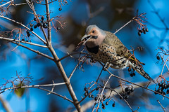 A Feast befitting a Flickr (sic) (rob.wallace) Tags: fall 2018 yellowshafted northern flicker great falls national park va