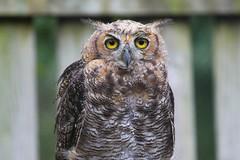 Great Horned Owl (amanda.leyden) Tags: owl owls greathornedowl feathers avian bir bird birds willdife rehab rehabilitation great horned wild pennsylvanian pennsylvania clinic