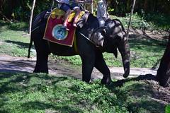 The other elephant was a lot more chilled (shankar s.) Tags: seasia indonesia java bali islandparadise baliisland touristdestination balisafari balisafariandmarinepark entranceplaza tamansafariiii zoo openzoo fauna wildlife ticketingcounter reception elephantride tourists riders pachyderm elephant herbivore animal borneopygmyelephant asianelephant elephasmaximusborneensis
