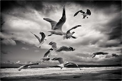 Study of Flight (Peter Polder) Tags: australia birds bw seascape beach sea sky landscape monochrome mono ocean overcast sydney skyline surf wave waves water