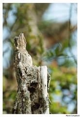 Potoo (muriel.schupbach) Tags: murielschupbach mscphotoblog4evercom oiseau bird brésil potoo