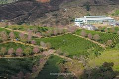 _Y2U3390.1218.Ô Qúy Hồ.Bản Khoang.Sapa.Lào Cai (hoanglongphoto) Tags: asia asian vietnam northvietnam northwestvietnam landscape scenery vietnamlandscape vietnamscenery vietnamscene sapalandscape nature afternoon sunlight hillside flanksmountain trees teahill canon canoneos1dx canonef70200mmf28lisiiusm tâybắc làocai sapa bảnkhoang ôquýhồ phongcảnh phongcảnhsapa buổichiều đồichè sườnđồi sườnnúi cây maianhđào