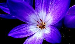Zimowit. (andrzejskałuba) Tags: polska poland pieszyce dolnyśląsk europe flower kwiat zimowit clochicum violet fiolet macro natura nature natural beautiful color flora ogród garden panasonicdmcfz200 lumix biały white 100v10f 1000v40f 1500v60f