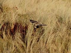 IMG_4500 (monika.carrie) Tags: monikacarrie wildlife scotland forvie shortearedowl seo