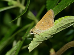 Pelopidas mathias - Small Branded Swift butterfly 'UN' (ajaylives) Tags: butterfly hesperiidae hesperiinae ovalekarwadi