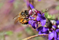 Honey bee (Monkeystyle3000) Tags: honey bee insect invertebrate nature macro