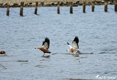 Ça Chauffe chez les Tadornes Casarca (Jean-Daniel David) Tags: oiseau oiseaudeau réservenaturelle reflet eau lac lacdeneuchâtel yverdonlesbains suisse suisseromande vaud duo oie tadornecasarca