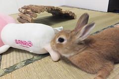 Ichigo san 1492 (Errai 21) Tags: いちごさんとララ ichigo san  ichigo rabbit bunny cute netherlanddwarf pet ウサギ うさぎ いちご ネザーランドドワーフ ペット 小動物 ララ 1492