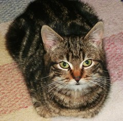 Introducing.... Dillon! (skipscales) Tags: cat kitten tabby dillon indoors winter