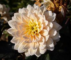 Dahlia (LuckyMeyer) Tags: flower fleur dahlie dahlia makro blume blüte green yellow white