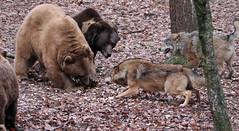 brown bear and Europaen wolf Ouwehands 094A0569 (j.a.kok) Tags: bear beer bruinebeer brownbear europe europa europeanwolf europesewolf wolf animal ouwehands mammal zoogdier dier predator