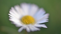 January daisy {explored} (conall..) Tags: nikon afs nikkor f18g lens 50mm prime primelens nikonafsnikkorf18g wideopen closeup raynox dcr250 macro county down tullynacree nw551041 annacloy field northernireland bellis perennis common daisy asteraceae flower flowerhead composite desenfoque outoffocus narrow dof selective focus