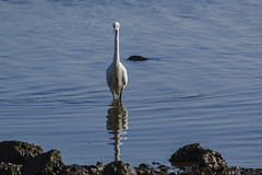 Arne 27-02-2015 27 (Matt_Rayner) Tags: arne littleegret bird shipstalbeach