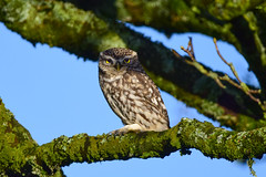 Little Owl (Terry Angus) Tags: owl littleowl little