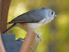 Tufted Titmouse_Oct31_2018 (Bob Vuxinic) Tags: bird tuftedtitmouse baeolophusbicolor hopperfeeder cumberlandplateau crossvilletennessee 31oct2018