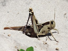 Grasshopper (ugeiser) Tags: southafrica insects