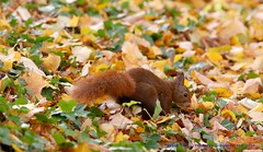 Red Squirrel.......... (law_keven) Tags: squirrels redsquirrels redsquirrel animals wildlife wildlifephotography photography france lyon parcdelatêtedor parks parklife animal mammal
