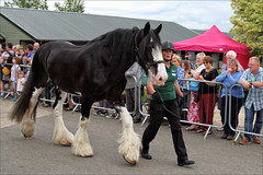 Parade VIII (meniscuslens) Tags: caesar shire retired police horse horses hounds heroes groom charity event buckinghamshire aylesbury high wycombe princes risborough