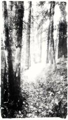 (giggie larue) Tags: botanicals trees rattlesnaketrail intothewoods intothelight bw blackwhite impressionistical