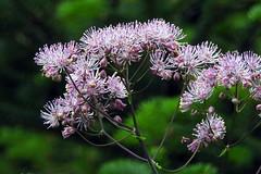 Thalictrum aquilegiifolium (Ranunculaceae) (Marketanpuisto, Espoo, 20180607) (RainoL) Tags: crainolampinen 2018 201806 20180607 clr cultivated espoo finland flower flowers geo:lat=6024743637 geo:lon=2470603108 geotagged gloet june lehtoängelmä lilac margreteberg marketanpuisto nyland p900 plant plants ranunculaceae summer thalictrum thalictrumaquilegiifolium uusimaa fin