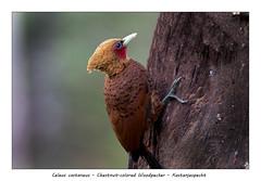 Chestnut-colored woodpecker #1 (Jan H. Boer, Nature photographer) Tags: celeuscastaneus chestnutcoloredwoodpecker kastanjespecht birds woodpeckers nature wildlife costarica bocatapada nikon d500 afsnikkor200500f56eedvr jan´sphotostream2018