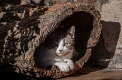Cat (Ignacio Ferre) Tags: gato cat felidae felino felid felines feliscatus felids feline mammal mamífero pet mascota nikon retrato portrait animal