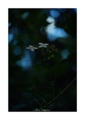 2018/10/6 - 7/15 photo by shin ikegami. - SONY ILCE‑7M2 / Lomography New Jupiter 3+ 1.5/50 L39/M (shin ikegami) Tags: macro マクロ 紫陽花 flower 花 井の頭公園 吉祥寺 autumn 秋 sony ilce7m2 sonyilce7m2 a7ii 50mm lomography lomoartlens newjupiter3 tokyo sonycamera photo photographer 単焦点 iso800 ndfilter light shadow 自然 nature 玉ボケ bokeh depthoffield naturephotography art photography japan earth asia