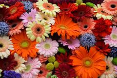 Gergera (Seventh Heaven Photography **) Tags: 131st shrewsbury flower show shropshire nikon d3200 flowers flora blooms arrangement display gerbera orange yellow pink red