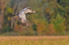 AutumnalSHC2 (Rich Mayer Photography) Tags: sand hill sandhill crane cranes wild life wildlife animal animals nature avian bird birds fly flying flight nikon