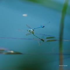 Souvenir d'été (jpto_55) Tags: demoiselle odonate eau reflet xe1 fuji fujifilm fujixf55200mmf3548rlmois hautegaronne france