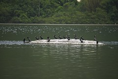 Cormorões (mcvmjr1971) Tags: ilha do pontal piratininga lagoa nikon mmoraes d800e lens sigma 2435 art