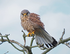 Kestrel.....Attenborough Nature Reserve (Scuba`Steve`) Tags: