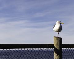 "I call him ""Jethro Gull"" (Barb Henry) Tags: ocean beach oregon lincolncity bluesky gull bird jethrotull music singer floutest funny humour sing lookingyouintheeye standing oneleg balance"