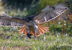 Red-tailed Hawk (bbatley) Tags: hawk redtailed redtailedhawk wildlife