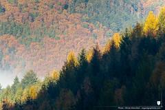 Cimes des arbres dans la forêt à l'automne, Alsace, France (regard graphiste) Tags: 2018 france saison brouillard nature cimes hautrhin automne brume arbres massifvosgiens parcnaturelrégionaldesballonsdesvosges montagne chataignier sapin alsace régiongrandest diagonal foret forêt grandest vosges natural