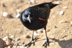 Tricolored blackbird (yuki_alm_misa) Tags: カリフォルニア 演習場 california lasfloresviewpoint usmccamppendleton theunitedstatesmarinecorps 西海岸 usmc アメリカ海兵隊