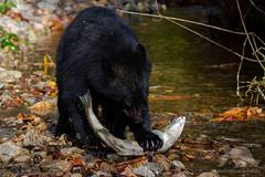 Black Bear with salmon (fascinationwildlife) Tags: animal mammal wild wildlife nature natur black bear schwarzbär predator salmon fish creek fall autumn kanada canada catch lachs chum young bc