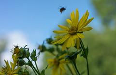 Sonnenhut (gerhardschorsch) Tags: sony zeiss za ilce7r available a7r availablelight sonnenhut 55mm fe55mmf18za pflanze pflanzenreich pflanzenwuchs pflanzen vollformat f18 festbrennweite bokeh bodenperspektive flora flower gelb biene