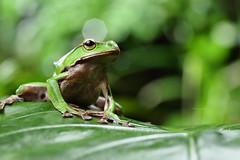 2J4A8072 (ajstone2548) Tags: 12月 樹蛙科 兩棲類 翡翠樹蛙