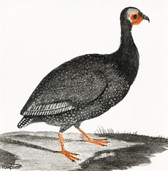A Guinea Fowl by Johan Teyler (1648-1709). Original from The Rijksmuseum. Digitally enhanced by rawpixel.