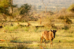 Wildebeest in Kruger National Park (C McCann) Tags: southafrica wildebeest gnu animal kruger nationalpark africa wild wildlife outdoor