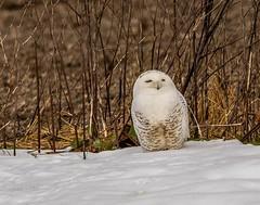 Breakfast has been served . . . (Dr. Farnsworth) Tags: owl large bird white male blood chest beak snowyowl muskegon mi michigan fall december2018