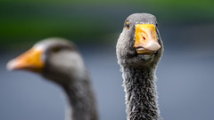 Anatidaephobia (Stefan Marks) Tags: animal bird goose head nature outdoor aucklandwaitakere northisland newzealand nzl